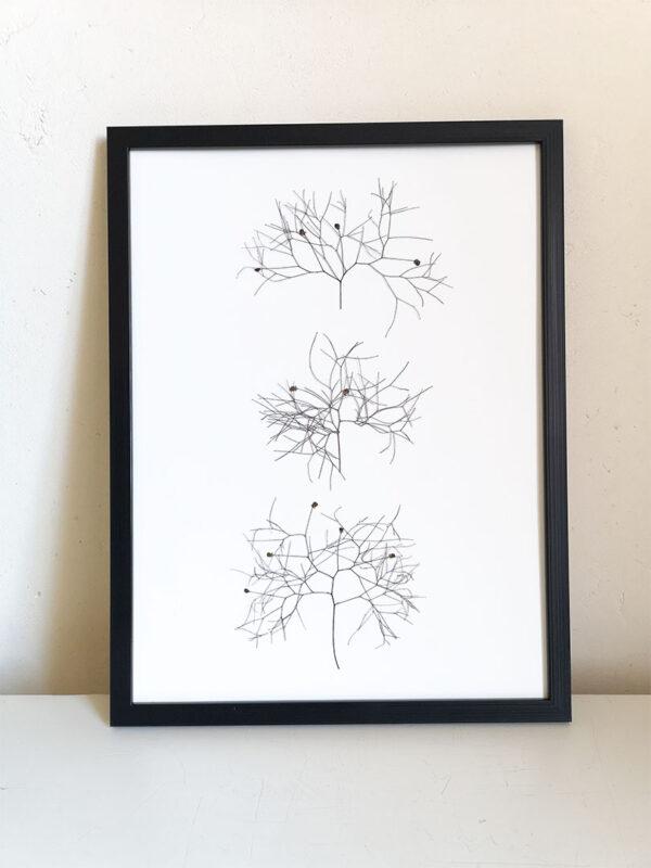 herbier cotinus